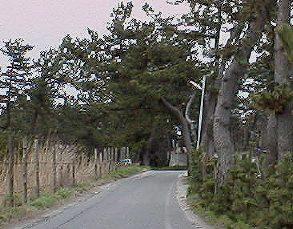 幽霊坂 道沿いに松の木が並んでいるが,海岸からの強い季節風のため,どの木も同じ... 幽霊坂(新
